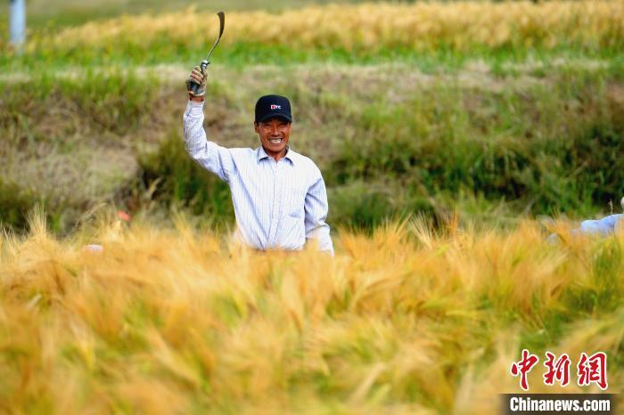 2019年,拉薩市農牧民人均可支配收入達1.626萬元,增長13.2%。圖為西藏拉薩農牧民在田間收割青稞。(資料圖) 江飛波 攝