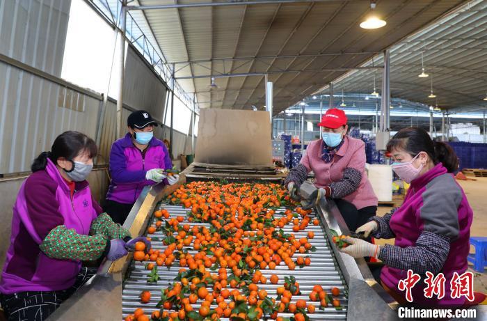 工人们正在精心挑选采摘的新鲜沙糖桔。 陈海清 摄
