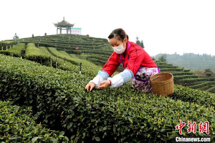 四川纳溪:疫情难阻春茶香30万亩特早茶开采
