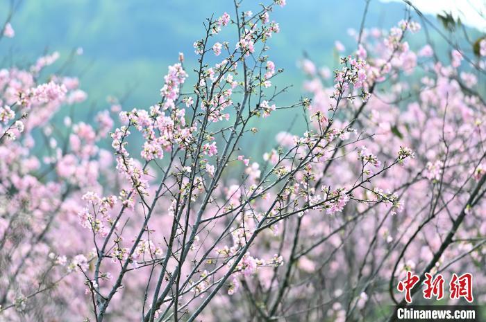 圖為櫻花綻放。 俞靖 攝
