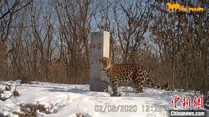 一只东北豹跨过中俄边界 吉林省林业和草原局供图 摄