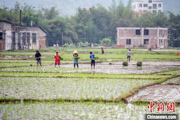农民正在田间抛秧插秧。 何华文 摄
