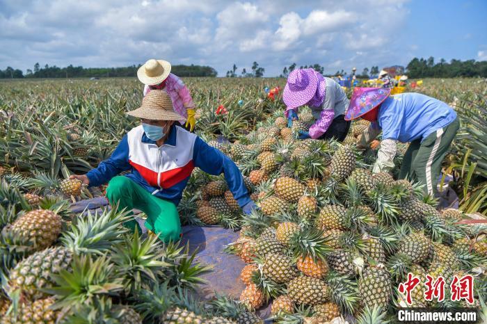 图为工人在海南澄迈一凤梨生产基地采摘、分拣凤梨。<a target=