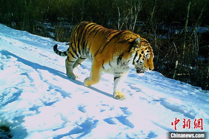 太平溝國家級自然保護區內發現野生東北虎 太平溝國家級自然保護區管理局供圖 攝