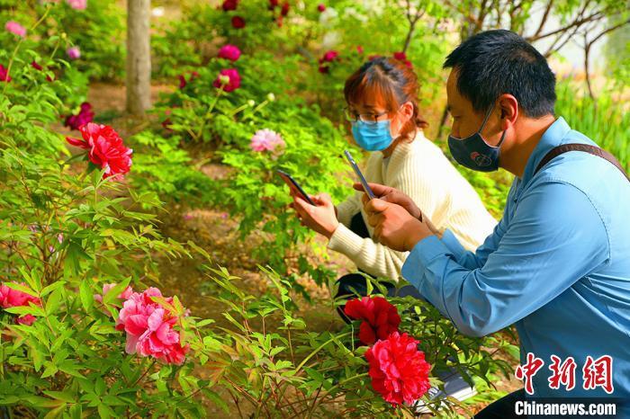 市民用手机拍摄盛开的牡丹花。 杨厚伟 摄