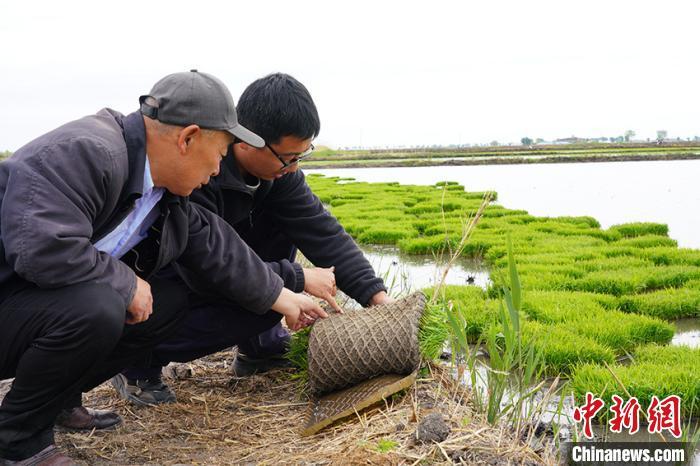 吉林省农科院副研究员马巍(右一)与合作社理事长任志国查看稻苗长势。 潘晟昱 摄