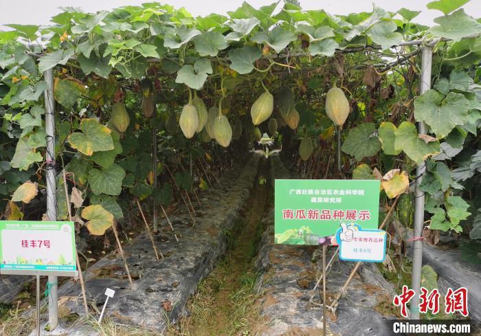 2020年中国(广西)―东盟蔬菜新品种博览会举办。 主办方供图