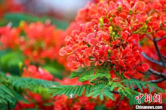 廣州:鳳凰木花開正艷紅似火