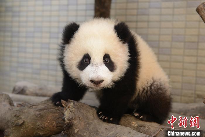 """大熊猫""""圆圆""""。(资料图)中国大熊猫保护研究中心供图"""