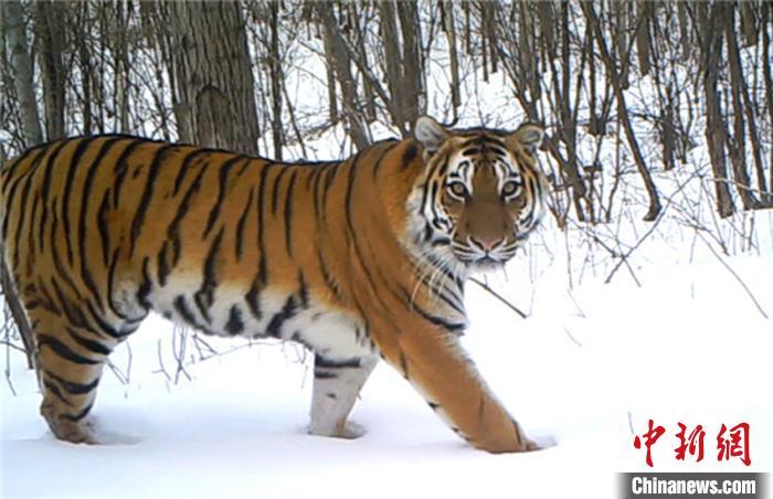 """7月29日是第十个全球老虎日,今年的主题是""""成为老虎守护者"""""""