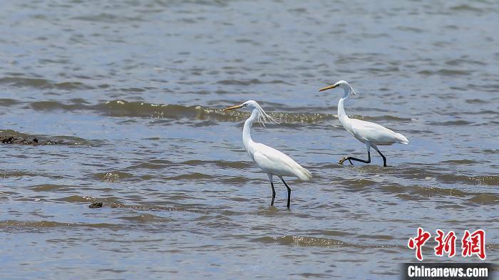 黄嘴白鹭是国家二级保护动物(资料图) 张福庆 摄