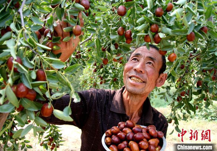 稷山县枣树栽植面积15.3万亩,其中挂果面积10万亩,有6.5万农民从事板枣种植业。 栗卢建 摄