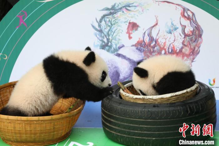 成都大熊猫繁育研究基地太阳产房熊猫幼仔亮相。 成都大熊猫繁育研究基地供图 摄