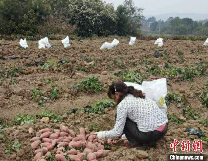 村民正在收红薯。 谢助民 摄