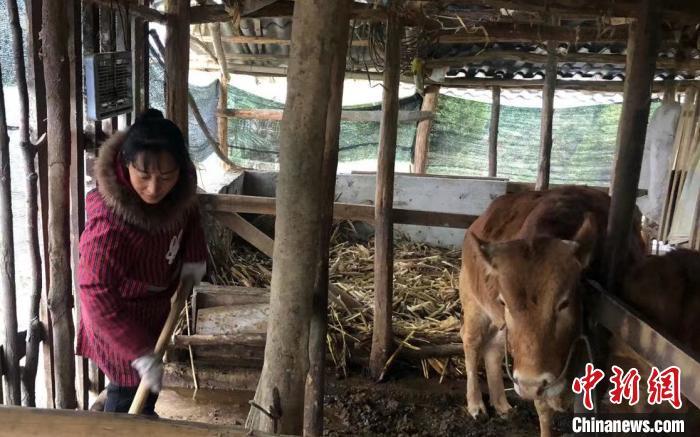 邹小荣正在喂牛。 钟旭娟 摄