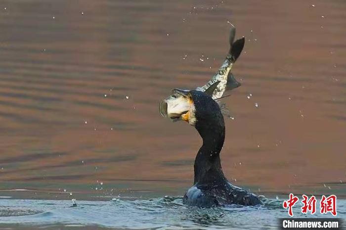 图为鸬鹚捕鱼。 程国龙 摄