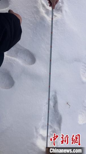 吉林敦化林区自2017年以来连续4年发现东北虎踪迹
