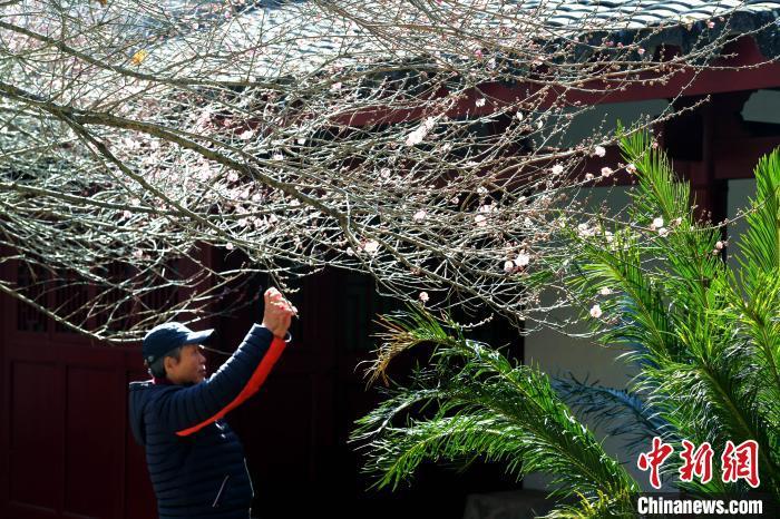 福建福州:市民古寺赏梅