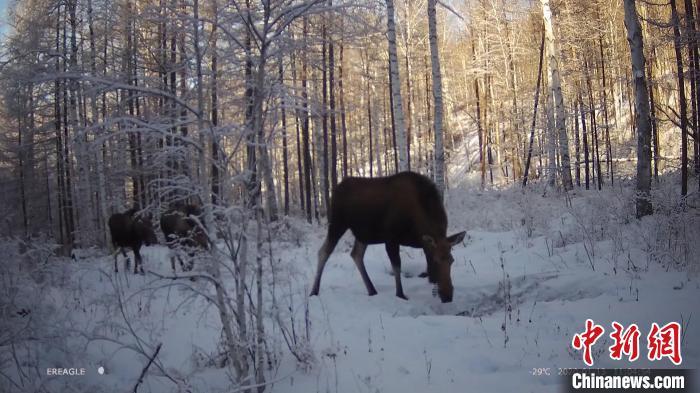 图为内蒙古大兴安岭额尔古纳国家级自然保护区科研人员用远红外相机拍摄到驼鹿画面。 赵月明 摄