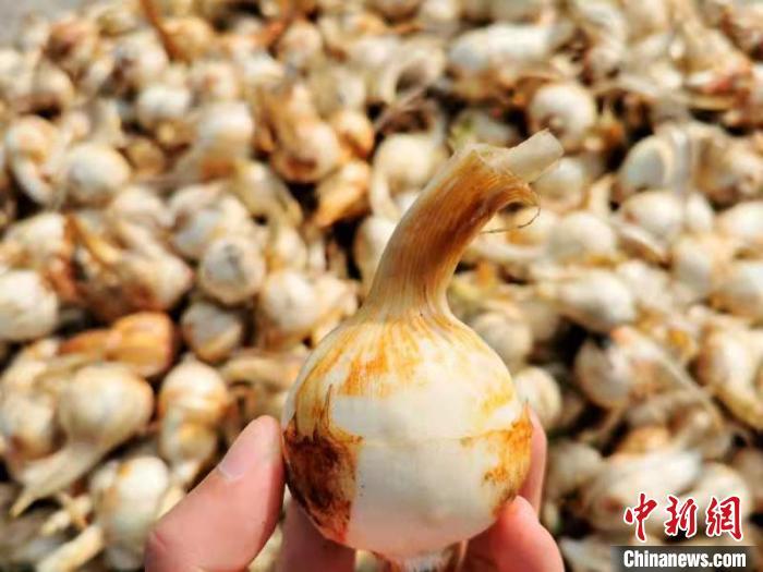带尖的茨菇被台山人称为茨菇丁 李晓春 摄