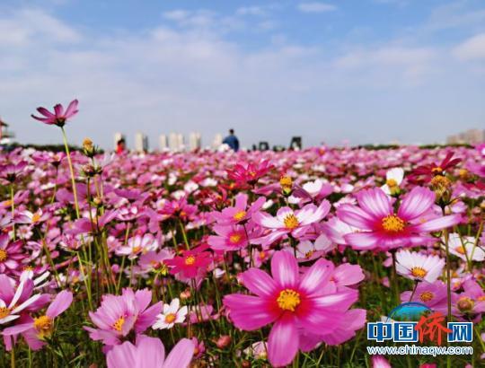龙寿洋万亩田野公园花海鲜花盛放。 张茜翼 摄