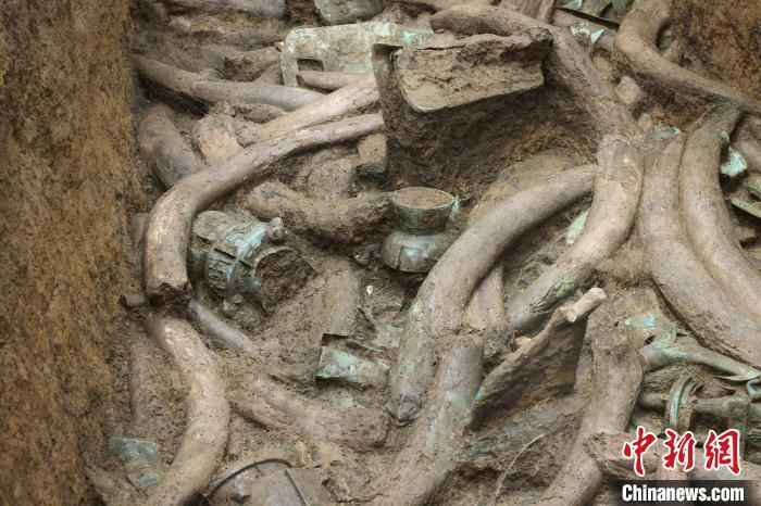 三星堆发掘出的象牙。 金沙遗址供图