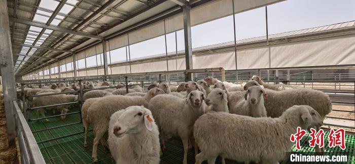 甘肃肉羊存栏量升至全国第三 已成为全国优质肉羊供应基地