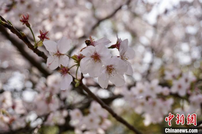 """春至江南 无锡与世界如此结下""""樱""""缘"""