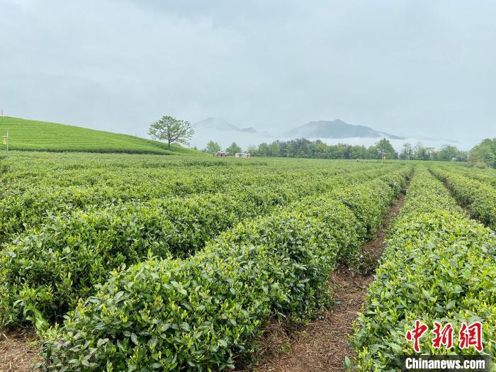 龙井茶基地。 项菁 摄