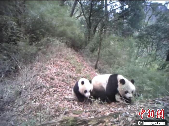 甘肅隴南多地首現野生大熊貓身影頻現帶仔活動和吃播搶鏡