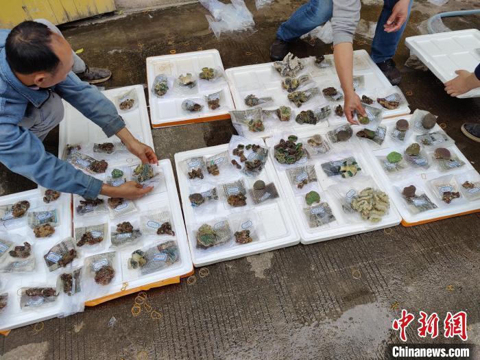 执法人员查获的珊瑚活体。 防城港海警供图