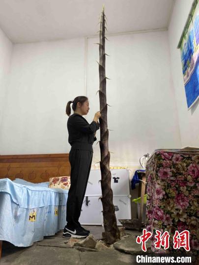 湖南桃江一教师宿舍竹笋破土而出为了安全即将挖除