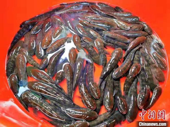 """尾鳍带""""印""""是鳁鱼的一大特征 李晓春 摄"""