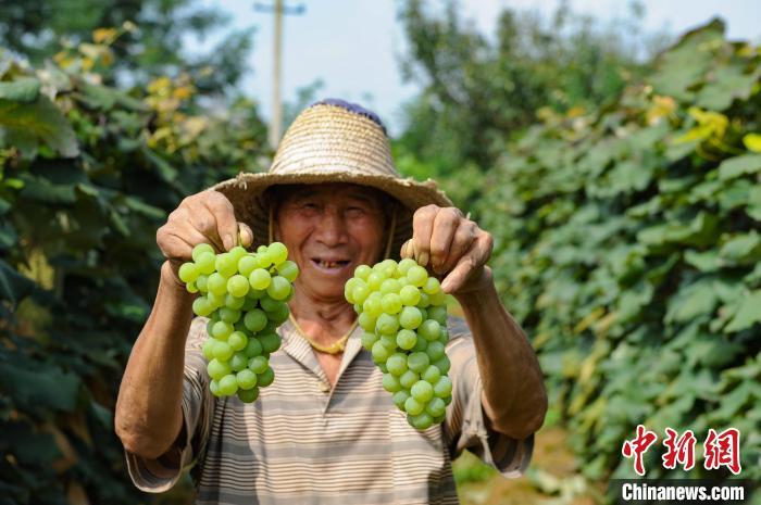 资料图:贵安新区葡萄园果农丰收。 贺俊怡 摄