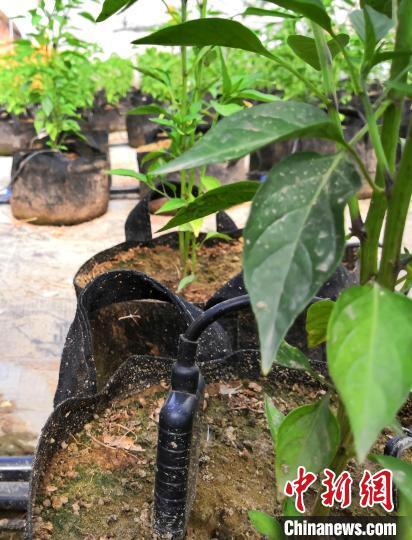 传感器用来感知辣椒根系所需的水量和所需的营养成分。 史玉江 摄