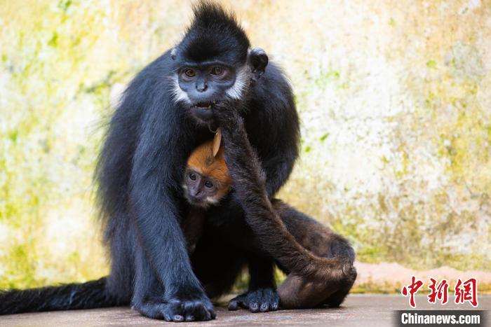 第八代黑葉猴在母猴懷里?!『稳A文 攝