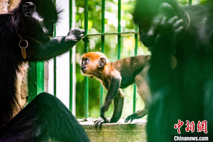 第八代黑葉猴一家一起玩樂,場面溫馨?!『稳A文 攝