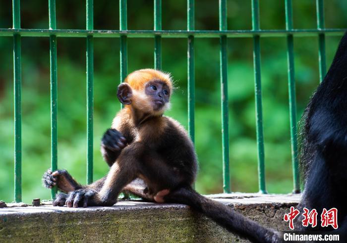 人工飼養繁殖的第八代黑葉猴成功存活?!『稳A文 攝
