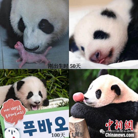 在韩国出生的中国大熊猫福宝。 中国驻韩国大使馆供图
