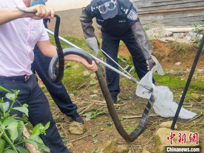 云南德宏:农户家中惊现眼镜王蛇 民警紧急救助