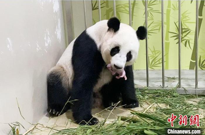 """大熊猫""""沪宝""""和新生大熊猫幼仔在一起。 中国大熊猫保护研究中心供图"""
