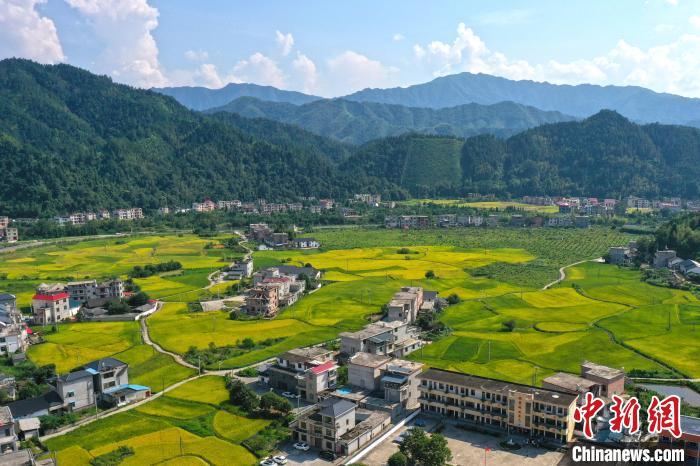 即将成熟的中稻,与蜿蜒的乡村公路、错落分布的民居、远处的绿山,构成一幅美丽的乡村稻田丰收画卷。 刘占昆 摄