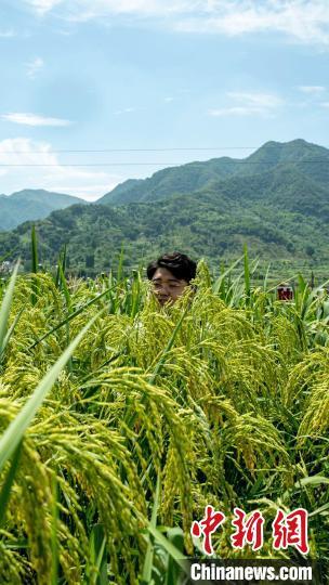 """""""巨型稻""""平均每株水稻植株高达1.8米左右。 钱鏊焕 摄"""