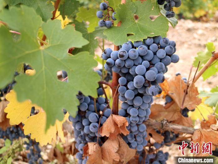 归国华商荒滩耕耘14载:想把中国葡萄酒推向世界