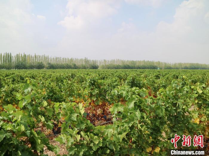 宁夏贺兰神国际酒庄葡萄园。 石羽佳 摄