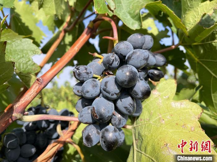 贺兰山东麓产区酿酒葡萄。 石羽佳 摄