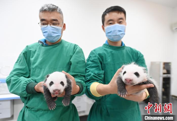 """育幼师和大熊猫""""宝宝""""的双胞胎幼仔在一起。 安源 摄"""