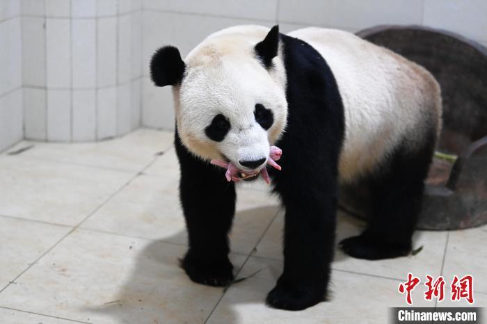 中国大熊猫保护研究中心2021大熊猫新生幼仔存活率百分之百