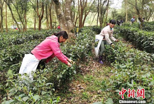 采茶工人正在抢采清明前的茶叶。 程景伟 摄