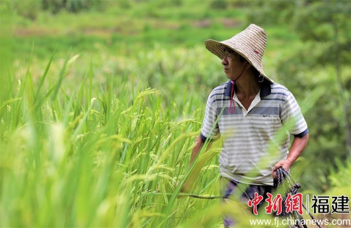 图为水稻父本的稻穗陆续开放,村民以拉绳的形式开展抽穗扬花作业。董观生摄